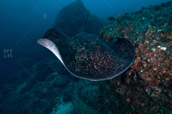 Common Marbled Ray gliding over seabed, Cocos Island, Costa Rica