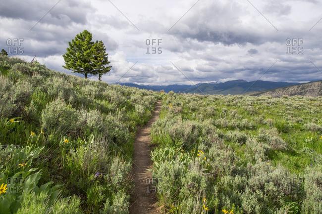 Sage brush, Yellowstone National Park, Wyoming, USA