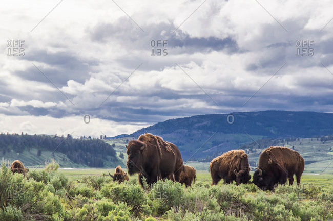 American bison in Lamar Valley, Yellowstone National Park, Wyoming, USA