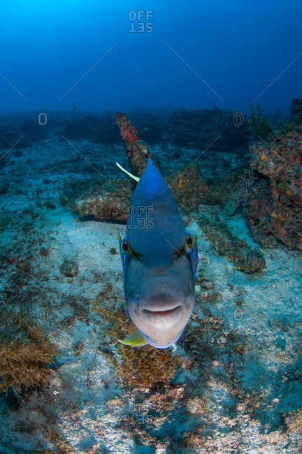 Queen angelfish challenging its own reflection on camera, Cabo Catoche, Quintana Roo, Mexico