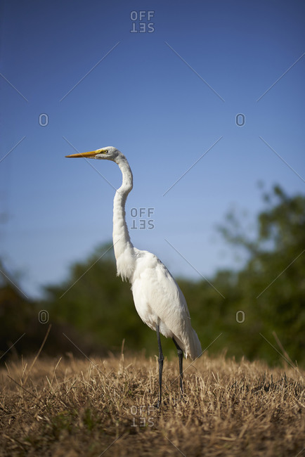 Portrait of a Great Egret standing in a field