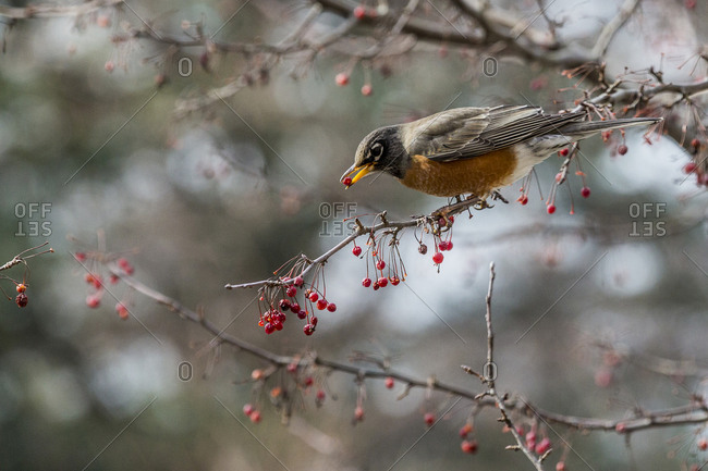 Close up of a robin in a tree with a berry in its beak