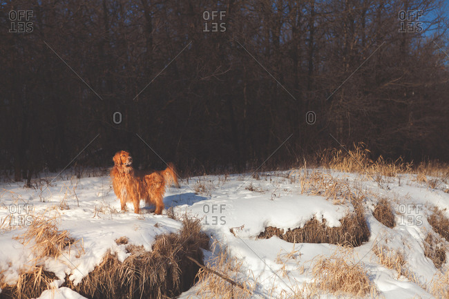 Golden retriever standing in the snow looking alert