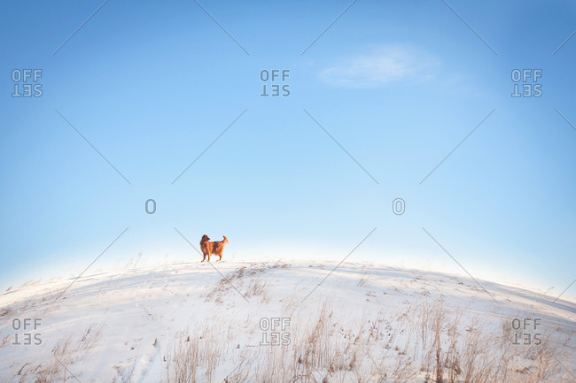 Golden retriever standing in the snow looking back