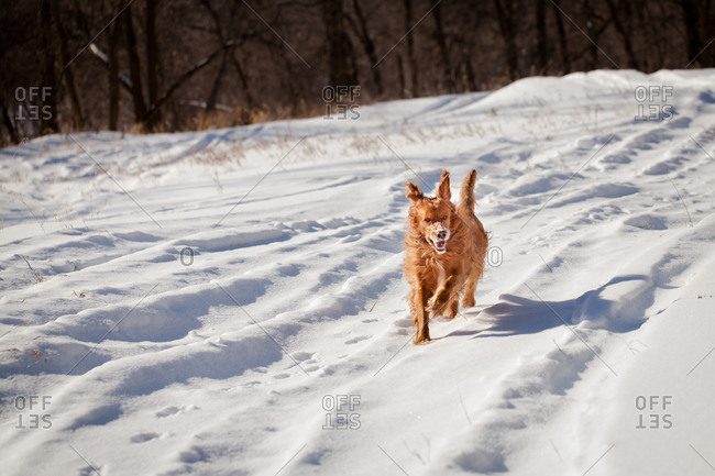 Golden retriever running through the snow