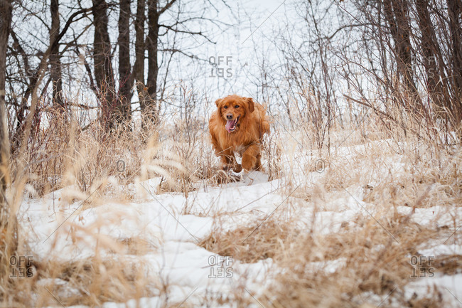 Golden retriever running through the woods on a snowy day