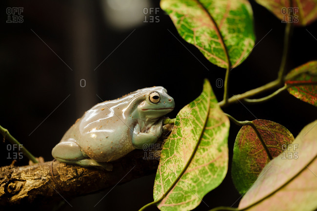 White's tree frog resting on a branch