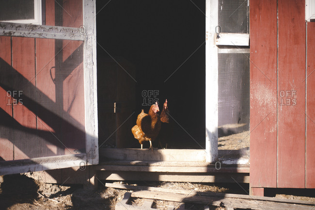 Chickens at a coop door