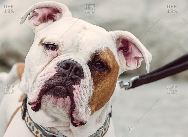 Portrait of an American Bulldog