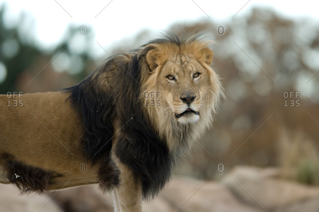 Portrait of an African lions, Panthera Leo