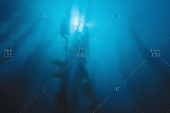 Giant Kelp in blue water with surface and sun