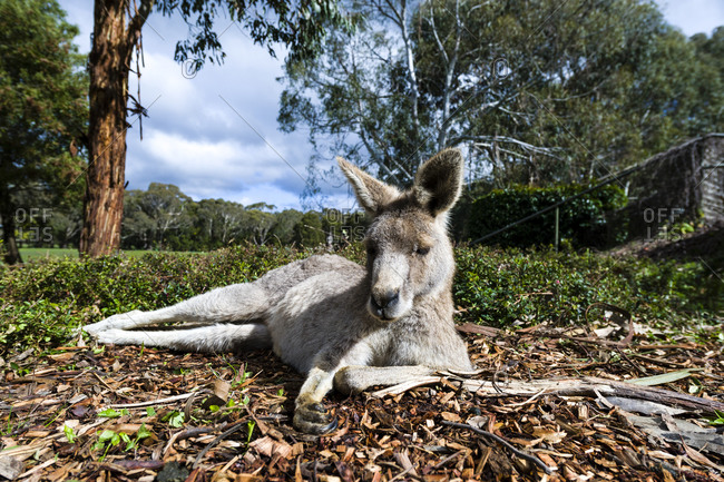 An Eastern Grey Kangaroo resting in the sun on a winter's day