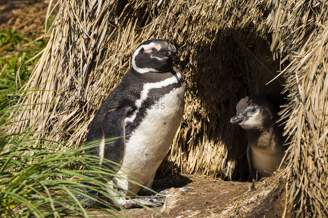 Two Magellanic Penguins at their burrow on Steeple Jason Island in the Falkland Islands