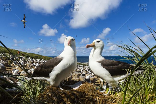 Two Black-browed Albatross exhibiting courtship behavior on Steeple Jason Island in the Falkland Islands