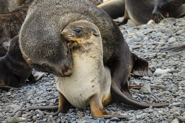 Antarctic Fur Seals exhibiting mating behavior on Prion Island in South Georgi Antarctica