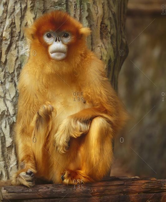 A Golden Snub-nosed monkey