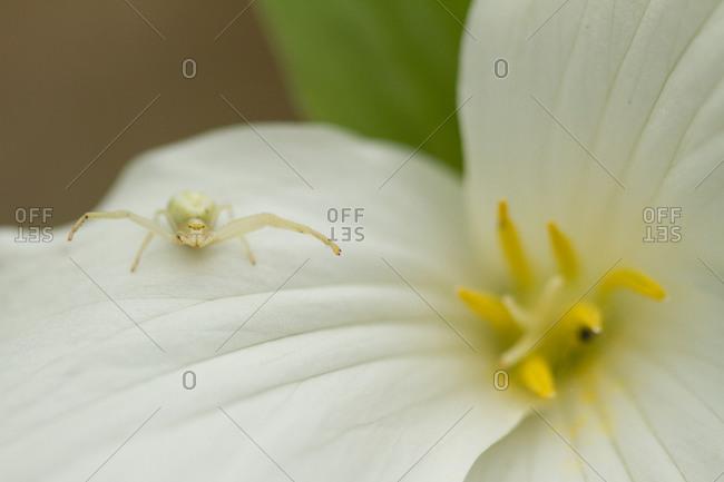 Macro photograph of spider sitting on White Trillium flower
