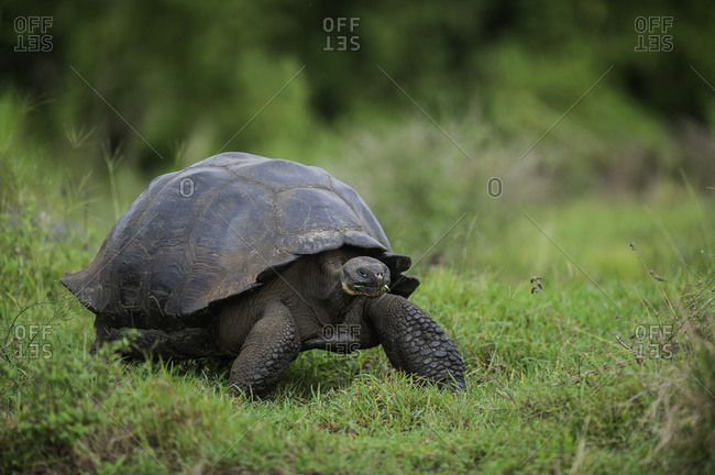 Galapagos National Park, Ecuador - June 18, 2009: A wild Galapagos giant tortoise