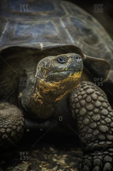 Galapagos National Park, Ecuador - June 18, 2009: A giant tortoise