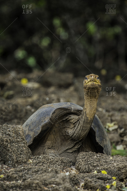 Galapagos National Park, Ecuador - June 18, 2009: A Pinta Island tortoise, or Abingdon Island tortoise, the last of his kind at the Charles Darwin Research Station