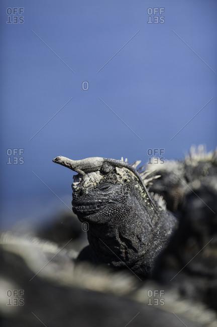 A marine iguana and small lava lizard on the volcanic island of Fernandina
