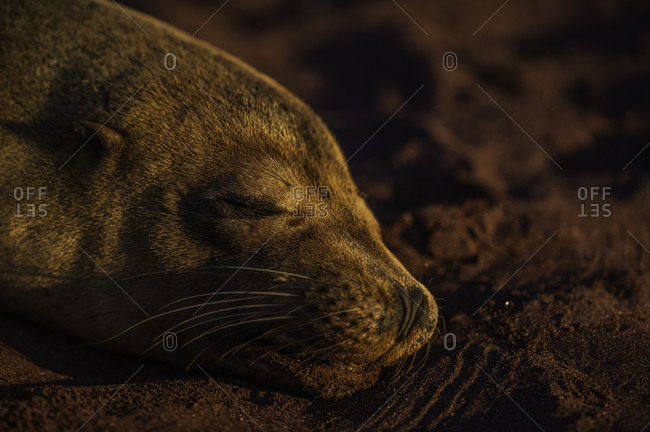 A Galapagos sea lion napping on the red sand beaches of Rabida Island