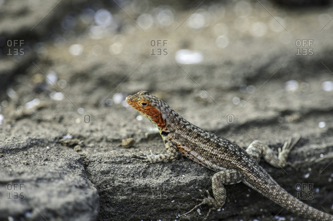 A lava lizard on the volcanic shore of Santiago Island in Galapagos National Park