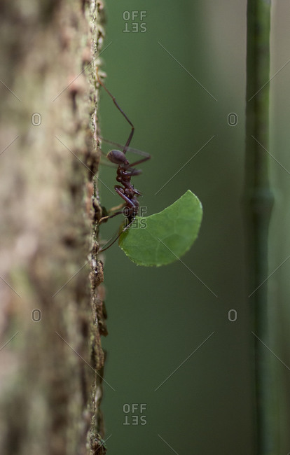 Leafcutter Ants carry leaves along the trunk of a tree