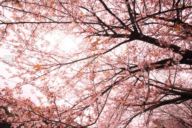 A low angle view of trees with pink blossoms