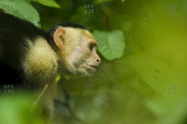 A white-faced capuchin monkey in Manuel Antonio National Park, Costa Rica