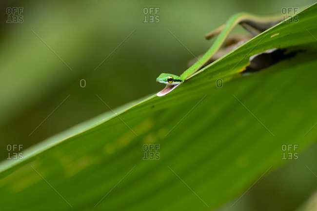 A parrot snake camouflaged on a leaf in Manuel Antonio National Park, Costa Rica
