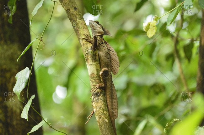 Plumed basilisk (Basiliscus plumifrons) or Jesus Christ lizard, because of its ability to run short distances across water without sinking, in Manuel Antonio National Park, Costa Rica