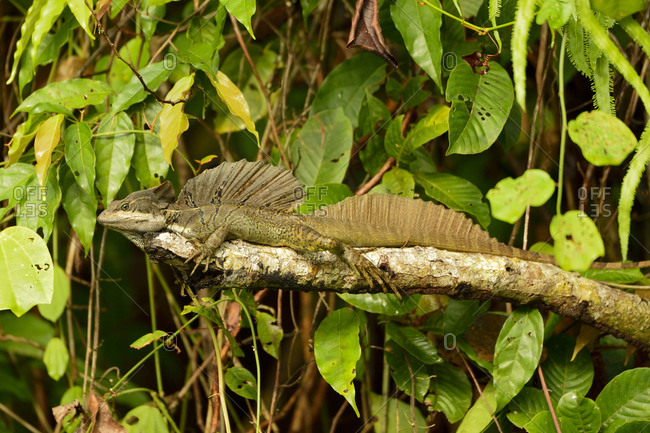 Plumed basilisk near Punta Rio Claro National Wildlife Refuge, Costa Rica