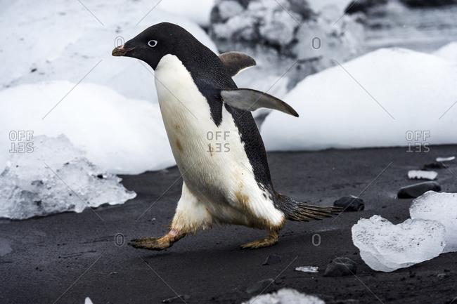 An Adelie Penguin running into the ocean between blocks of ice