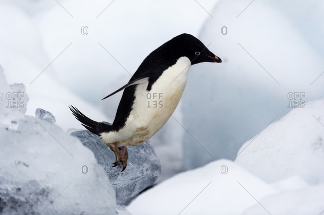 An Adelie Penguin trying to reach the shore though a field of ice boulders
