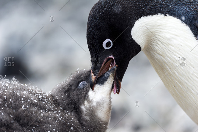 An Adelie Penguin feeding a large fluffy chick by regurgitating food