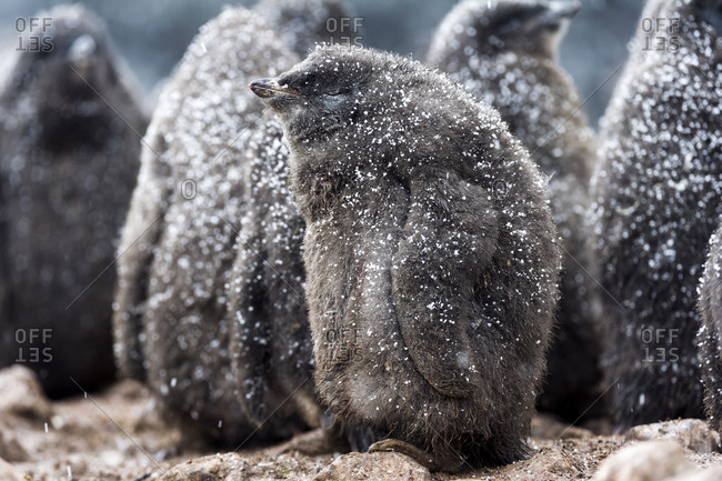 A creche of fluffy Adelie Penguin chicks covered in a dusting of snow on a beach in Antarctica