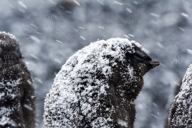 A fluffy Adelie Penguin chick covered in snow during a snow storm in Antarctica