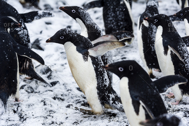 A breeding colony of Adelie Penguins during a snow storm on an island in Antarctica