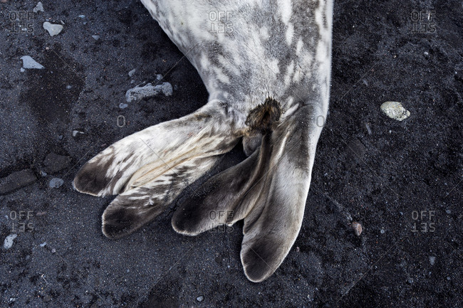 The flippers of a Weddell Seal sleeping on a black volcanic beach in Antarctica