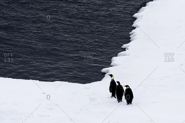 A trio of Emperor Penguin resting on the sea ice edge