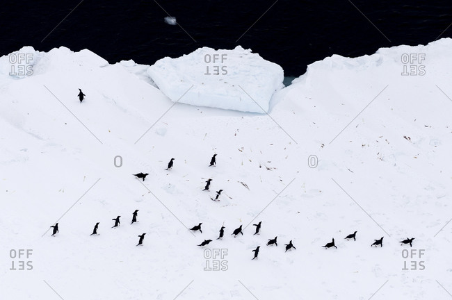 A colony of Adelie Penguins gathered near the sea ice edge in Antarctica