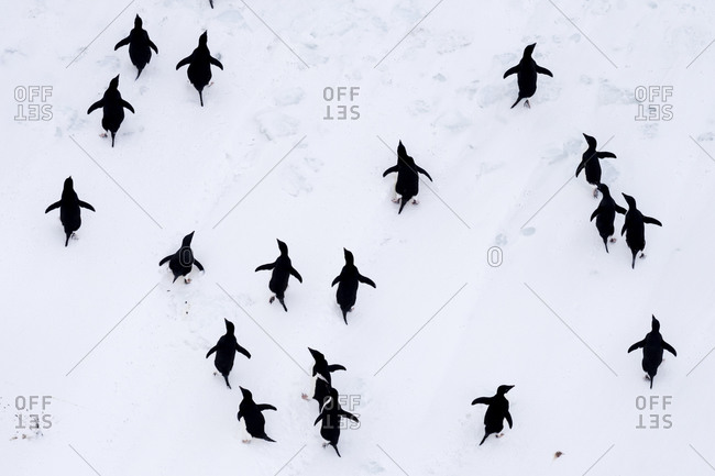 Adelie Penguins moving in formation along the sea ice edge in Antarctica