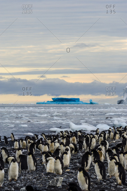 A breeding colony of Adelie Penguins on an island in Antarctica