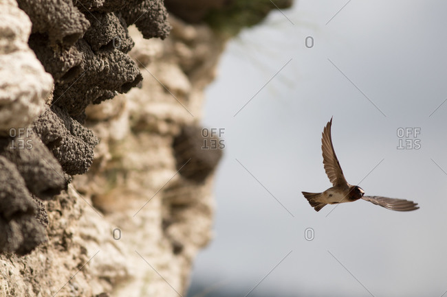 Cliff Swallow exists and flies out of nest in Yellowstone National Park