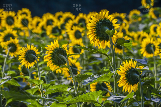 Sunflower Field, Montogomery County, Maryland