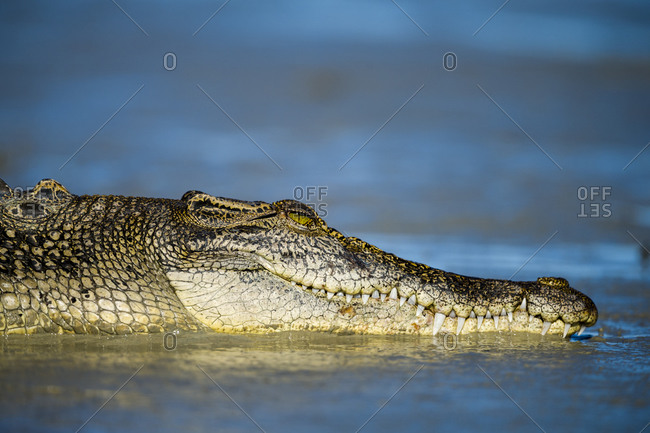 The head and jaws of a Saltwater Crocodile sun basking on a mangrove mud flat at low tide
