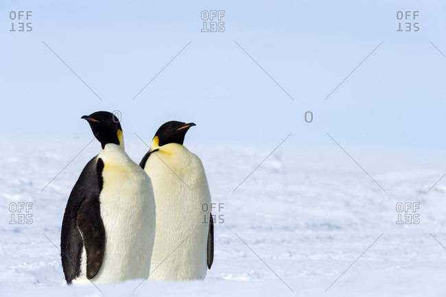 A pair of Emperor Penguins on the vast frozen plain of the Ross Ice Shelf