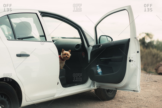 Yorkshire Terrier peaking out from the passenger seat of a white car