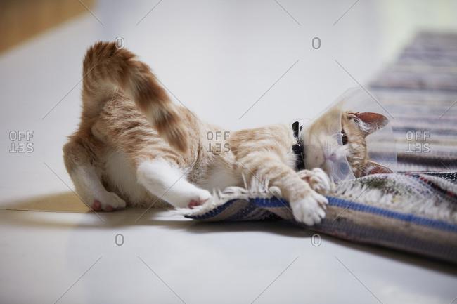 Cat wearing medical cone collar